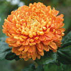 Chrysanthemum Flower -