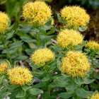 Goldenroot Extract
