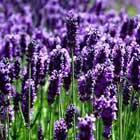 Lavender ..