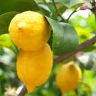 Verdant Alchemy - Lemon Essential Oil