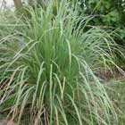 Lemongrass Essential Oil --