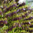 Pastel (Isatis Tinctoria) Seed Oil