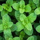 Peppermint Oil.,