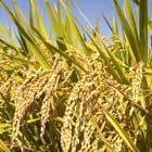 Bumble: Rice Bran Wax + PVP Hold Polymer