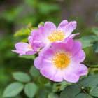 Rosa Canina Flower Extract