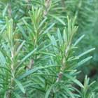 RCO Rosemary