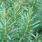 Natural Rosemary Extract