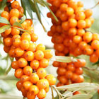 R+Co: Sea Buckthorn Oil