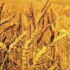 Oribe: Wheat Starch