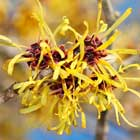 RCO Witch HAzel